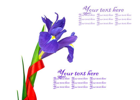 blueflag: Blue iris on a white background