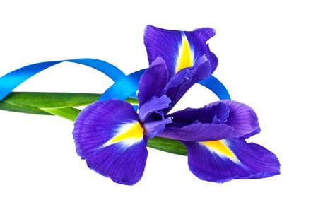 Blue iris or blueflag flower and blue ribbon isolated on white background