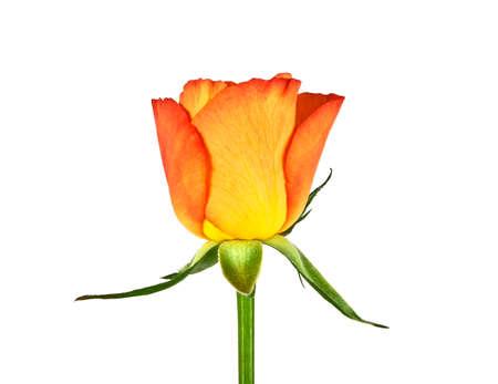 rosas naranjas: Rosas de la naranja yema sobre un fondo blanco