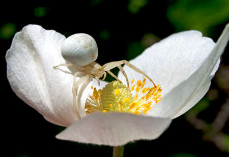 goldenrod spider: White spider on a flower, close-up