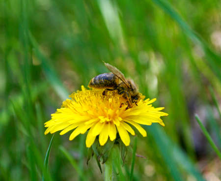 distributing: Bees collecting nectar from flower