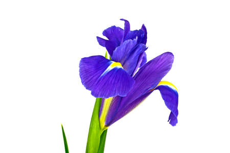 blueflag: Blue iris flower isolated on white background