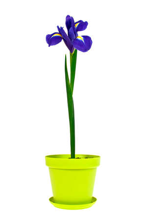 blueflag: Blue iris flower in green plastic pot on white background