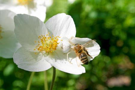 capturing: White spider capturing bee, on a white flower