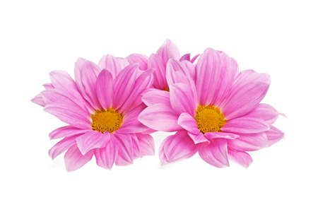 georgina: Pink chrysanthemum flowers isolated on white background Stock Photo