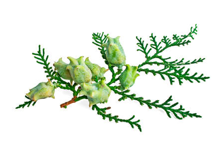 arborvitae: Green arborvitae branch isolated on the white background