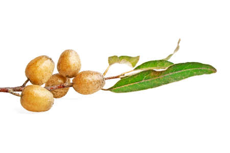 Twig with fruits of Elaeagnus angustifolia, known as Tree of Paradise, Russian Olive, silver berry, oleaster, Persian olive or wild olive.
