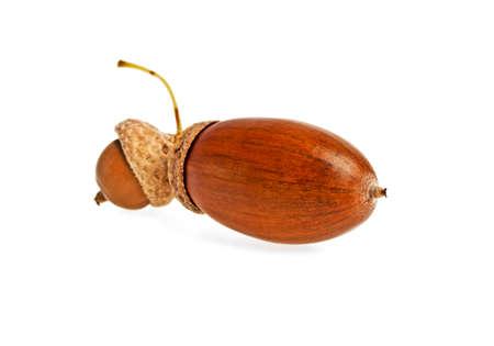 albero nocciolo: Acorn isolato su sfondo bianco