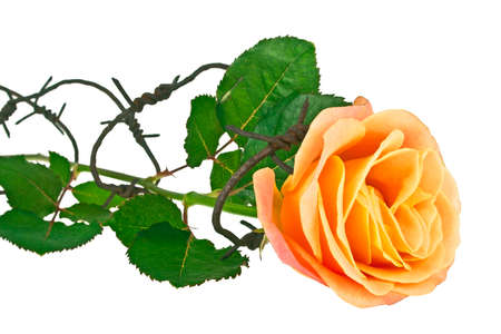 Barbed wire with orange rose on a white background