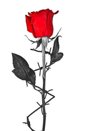 Prikkeldraad met rode roos op een witte achtergrond Stockfoto