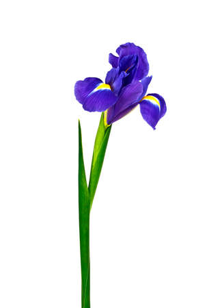 blueflag: Blue iris or blueflag flower isolated on white background Stock Photo