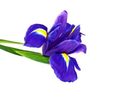 Blue iris or blueflag flower isolated on white background Stock Photo