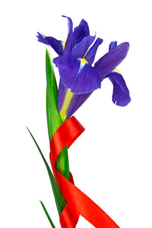Blue iris flower with red ribbon isolated on white background