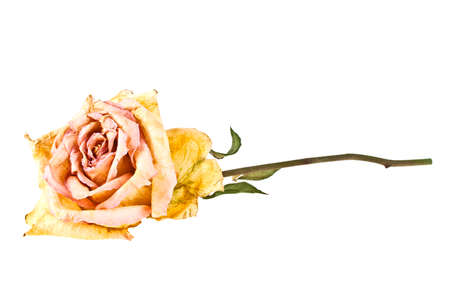 faded: Faded rose isolated on white background