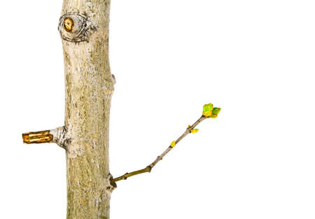 Close up of young tree branch on a white background