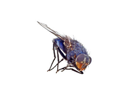 small butt: Fly isolated on a white background