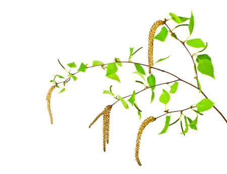 Spring, young birch branch on a white background
