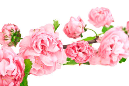 rose bush: A branch of pink rose bush isolated on white background