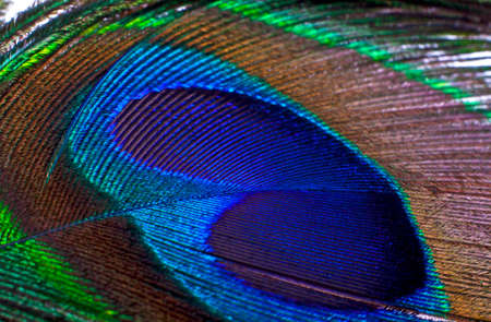 Macro image of beautiful exotic peacock feather, can use as background