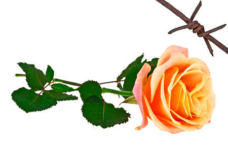 barbed wire isolated: Orange rose and rusty barbed wire isolated on a white background