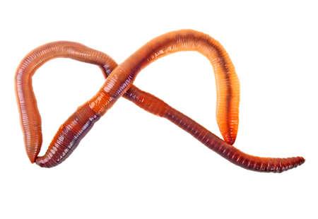 gusanos: Las lombrices de tierra aisladas sobre fondo blanco
