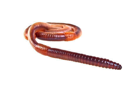 anguine: Earth worms isolated on white background