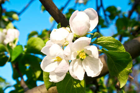 Beautiful flowering apple trees. background with blooming flowers in spring day. Stock Photo