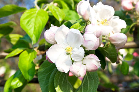 crab apple tree: Beautiful flowering apple trees. background with blooming flowers in spring day. Stock Photo