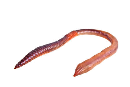 Earth worm isolated on white background