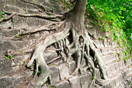 face in tree bark: Tree roots in the wall Stock Photo