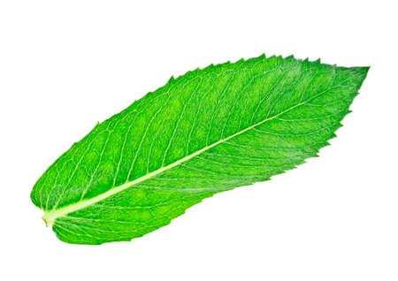 melissa: Fresh melissa leaf isolated on a white background Stock Photo