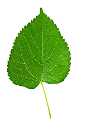 Linden leaf isolated on a white background