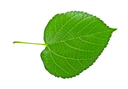 minutiae: Linden leaf isolated on a white background