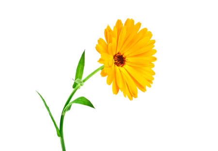Calendula. Marigold flower with leaves isolated on a white background Imagens