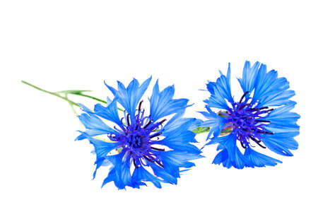 centaurea: Blue Cornflower - Centaurea on a white background