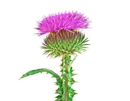 herbal remedy: Milk Thistle plant (Silybum marianum) herbal remedy. Scotch thistle, Cardus marianus, Blessed milk thistle, Marian Thistle, Mary Thistle, Saint Marys Thistle