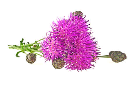 centaurea: Purple Cornflower - Centaurea on a white background Stock Photo