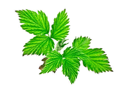 Raspberry green leaves isolated on white background