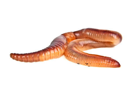 anguine: Earth worm isolated on white background