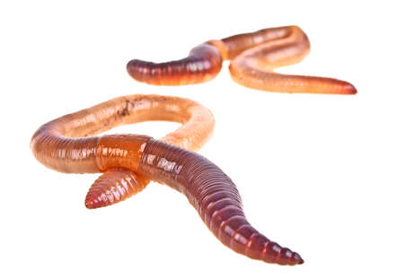 Earth worms isolated on white background