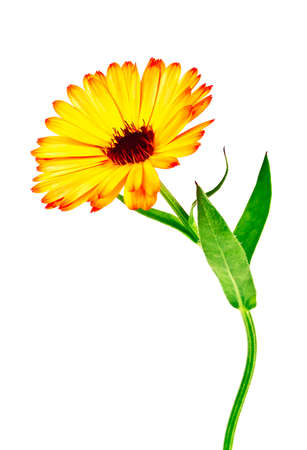 Calendula. Marigold flower with leaves isolated on a white background Stock Photo
