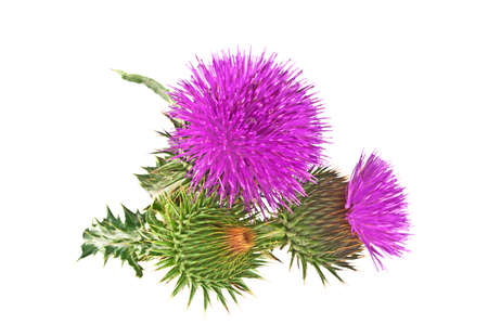 Milk Thistle plant (Silybum marianum) herbal remedy. Scotch thistle, Cardus marianus, Blessed milk thistle, Marian Thistle, Mary Thistle, Saint Mary's Thistle Фото со стока - 62075233