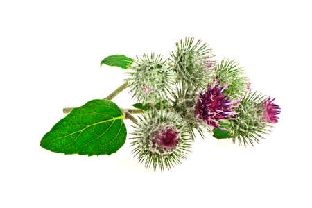 mariano: Thistle flower isolated on white background