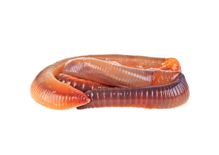wigglers: Animal earth worm isolated on white background