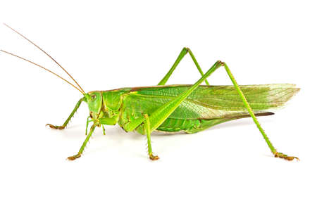 Grasshopper isolated on white background Stok Fotoğraf