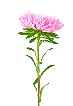 marguerite: Pink aster isolated on white background