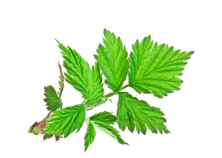Leaf of raspberry on white background Stock Photo