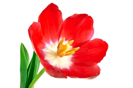 red tulip: Red tulip flower isolated on white background