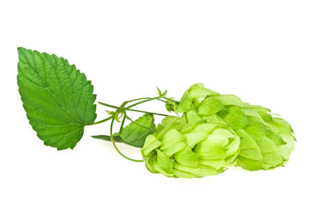 tendrils: Branch of beautiful hops isolated on a white background