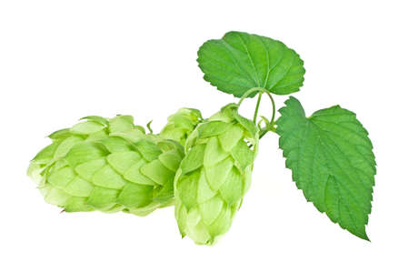 Branch of beautiful hops isolated on a white background